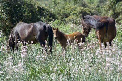 Cavallini della Giara al parco