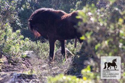 Visita guidata Parco della Giara - stallone al pascolo